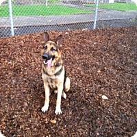 Adopt A Pet :: Abe von Abraham - Lake Oswego, OR