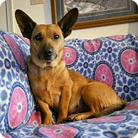 Adopt A Pet :: Lilbit - Westminster, MD