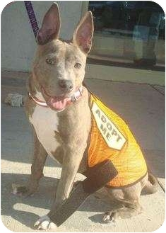 Bull Terrier Mix Puppy for adoption in East Rockaway, New York - Donkey