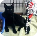 Domestic Shorthair Cat for adoption in Red Bluff, California - Sandra