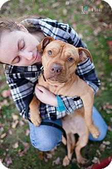 American Staffordshire Terrier Mix Dog for adoption in Reisterstown, Maryland - Jam