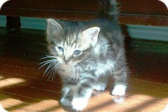 Domestic Shorthair Kitten for adoption in Island Park, New York - Darky, Boots & Crier