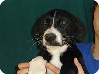 Labrador Retriever/Border Collie Mix Puppy for adoption in Oviedo, Florida - Millie