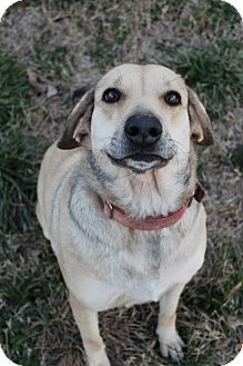 Labrador Retriever/German Shepherd Dog Mix Dog for adoption in Hagerstown, Maryland - Darla