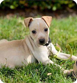 Labrador Retriever/Terrier (Unknown Type, Medium) Mix Dog for adoption in Houston, Texas - Stuart