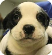 Soul Adopted Puppy Elizabethtown Ny English Bulldog