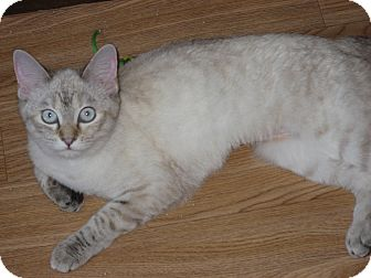 Siamese Cat for adoption in Huffman, Texas - Tiffany