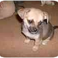 Chihuahua/Shih Tzu Mix Dog for adoption in Katy, Texas - Darcey