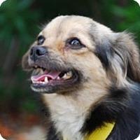 Adopt A Pet :: Simone - Sugar Land, TX