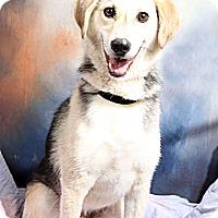 Adopt A Pet :: Frodo Shepherd - St. Louis, MO