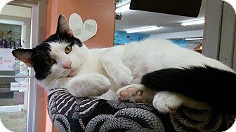 Domestic Shorthair Cat for adoption in Salem, Ohio - Kris