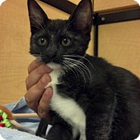 Adopt A Pet :: WILLOW-PetsMart Kitty - Scottsdale, AZ