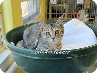 Domestic Shorthair Kitten for adoption in Jackson, New Jersey - Snickerdoodle