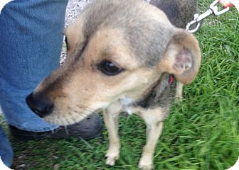 German Shepherd Dog Mix Dog for adoption in Beeville, Texas - Stanley
