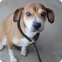 Beagle/Shar Pei Mix Dog for adoption in San Diego, California - Cannes
