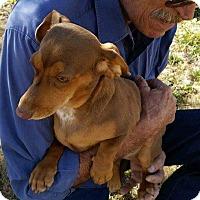 Adopt A Pet :: BELLA - Lubbock, TX