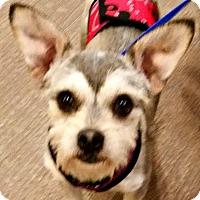 Adopt A Pet :: Zappa-ADOPTION PENDING - Boulder, CO