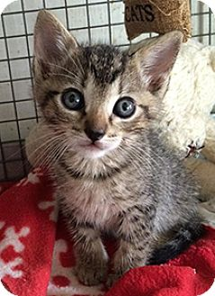 American Shorthair Kitten for adoption in Metairie, Louisiana - Benjamin