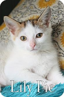 Domestic Shorthair Kitten for adoption in knoxville, Tennessee - Lily Pie $85 Female Manx