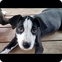 Adopt A Pet :: Rascal - Sinking Spring, PA