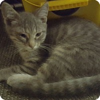 Domestic Shorthair Cat for adoption in Ortonville, Michigan - Marlin