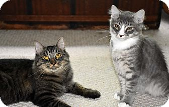 Maine Coon Cat for adoption in Bristol, Connecticut - Amalie & Starby-ADOPTED!
