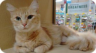 Domestic Longhair Cat for adoption in Morganton, North Carolina - Molly
