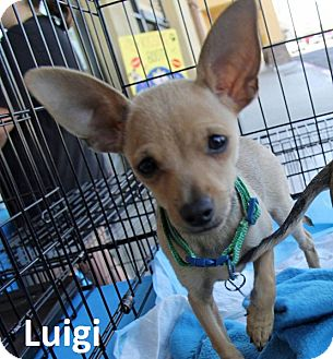 Chihuahua Mix Puppy for adoption in Lake Forest, California - Luigi