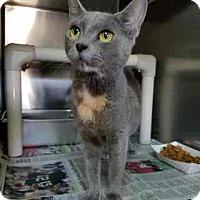 Domestic Mediumhair Cat for adoption in Douglasville, Georgia - Hetti