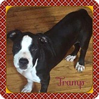 American Staffordshire Terrier Puppy for adoption in Warren, Michigan - Tramp