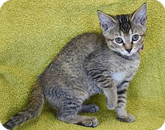 Domestic Mediumhair Kitten for adoption in Basehor, Kansas - Betty Ann
