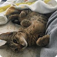 Adopt A Pet :: Nala - Tampa, FL
