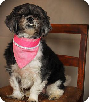 Shih Tzu Dog for adoption in Carrollton, Texas - Mitzi