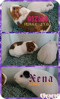 Guinea Pig for adoption in North Pole, Alaska - Gizmo