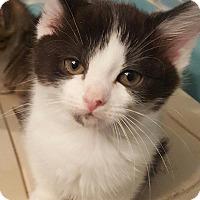 Adopt A Pet :: Irene (Feline) - Baltimore, MD