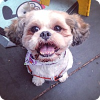 shih tzu rescue nyc new york ny shih tzu mix meet rue a dog for adoption 8032