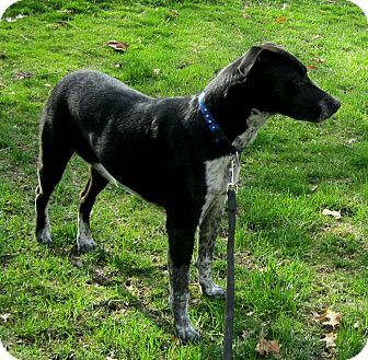 German Shorthaired Pointer Pitbull Mix He is a two year old german