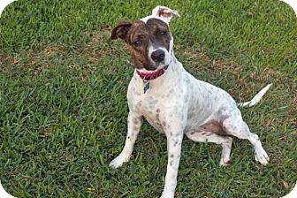 Pointer/Plott Hound Mix Dog for adoption in Austin, Texas - Stella