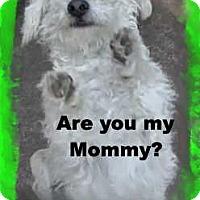 Adopt A Pet :: The Little Dancer - Pasadena, CA