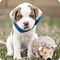 Adopt A Pet :: Cash - Houston, TX