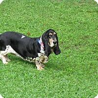 Adopt A Pet :: Sydney - Northport, AL