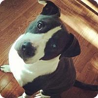 Adopt A Pet :: PANDA (aka Pudgy) - Portland, OR