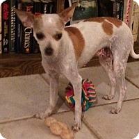 Chihuahua/Italian Greyhound Mix Dog for adoption in Edmond, Oklahoma - Clover