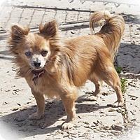 Adopt A Pet :: Pegasus - 7994 - Petaluma, CA