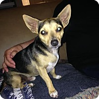 Chihuahua Dog for adoption in Lithia, Florida - Cody -16A  Brandon Fl