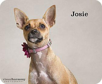 Chihuahua Mix Puppy for adoption in Chandler, Arizona - Josie