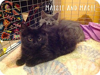 Domestic Longhair Kitten for adoption in Greensburg, Pennsylvania - Macie