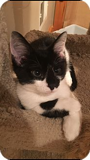 Domestic Shorthair Kitten for adoption in Mount Laurel, New Jersey - Corona
