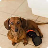 Adopt A Pet :: Molly $125 - Seneca, SC