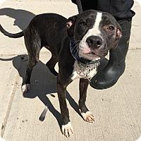 Adopt A Pet :: Shelby - Rockaway, NJ